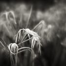 Spider lilies by Mel Brackstone