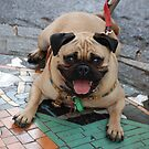 Happy Pug Dog by unstoppable