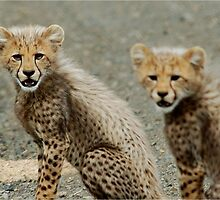 TIME TO GO ! THE CHEETAH - Ancinonyx jabatus - JAGLUIPERD by Magriet Meintjes