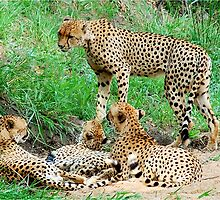 BROTHERS & SISTERS - THE CHEETAH - Acinonyx jabatus - JAGLUIPERD by Magriet Meintjes