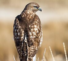 Red-tailed Hawk: The Evil Eye by John Williams