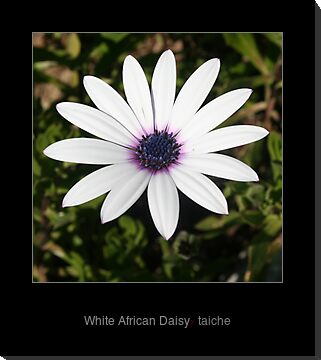 White African Daisy by taiche