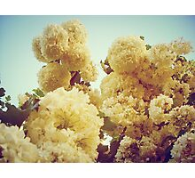 Snowball Flowers Photographic Print