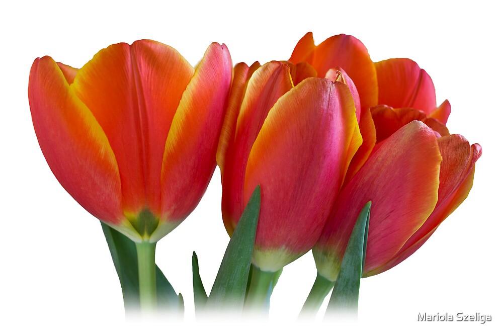 Tulips by Mariola Szeliga