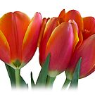 Tulips by Mariola Szeliga