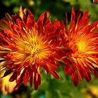 Colourful Chrysanthemums by Pravine Chester