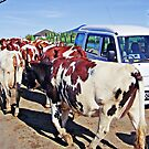 Vanity among cows? - please see description by Kanages Ramesh