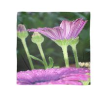 Purple And Pink Daisy Flower in Full Bloom Scarf