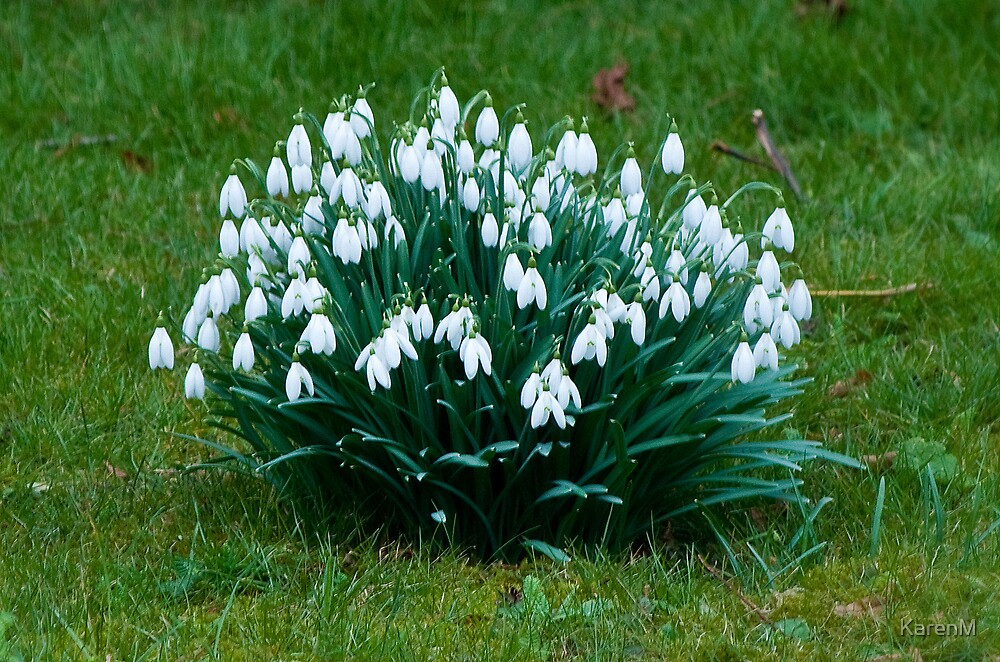 A Clump of Snowdrops by KarenM