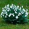 A Clump of Snowdrops by Karen Martin IPA