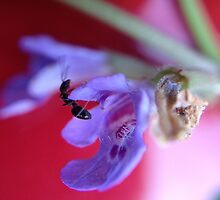 Black ant collecting nectar by jneilson
