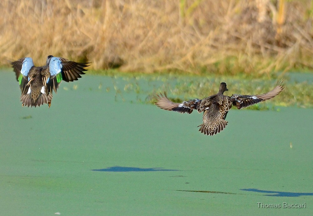 See Ya Later (Blue Winged Teal and Mate) by TJ Baccari Photography