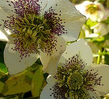 White Hellebores  by Antoinette B