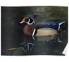 Reflective Wood Duck Poster