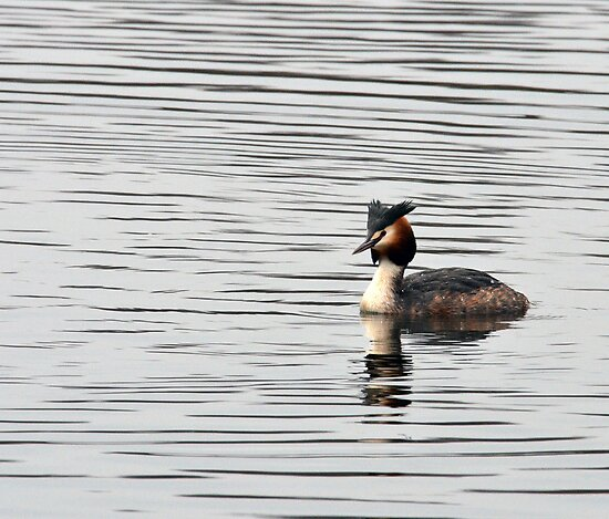 Great Crested Grebe - Moore Nature Reserve by Chris Monks