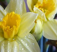 A bunch of daffs by Lorna Taylor