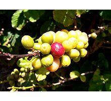 coffee plant Photographic Print