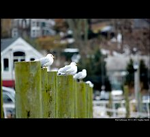 Larus Delawarensis - Ring-Billed Gulls At Port Jefferson Harbor - Long Island, New York by © Sophie W. Smith
