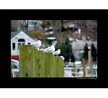 Larus Delawarensis - Ring-Billed Gulls At Port Jefferson Harbor - Long Island, New York Photographic Print
