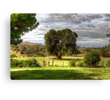 160 year old Olive Tree  Cooma Cottage Yass NSW  Australia  Canvas Print