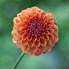 DAHLIA DETAIL by Bloom by Sam Wales
