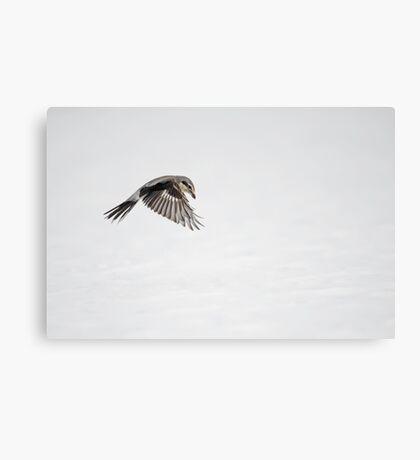 Yikes, it's a Shrike  Canvas Print