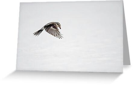 Yikes, it's a Shrike  by Daniel  Parent