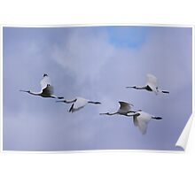 No Over Taking Please  Spoonbills in flight Poster