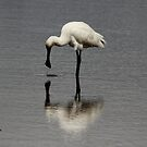 WOW you look just like me  Spoonbill by Kym Bradley