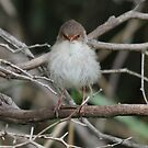 The Expression states all  Fairy Wren by Kym Bradley