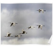 7 Up  ~ All 7 spoonbills in flight ~ Poster