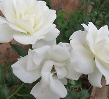 White Roses by KellieV1
