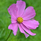Single Pink Flower by Deborah Clearwater