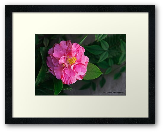 First Camellia 2013 by Heather Friedman