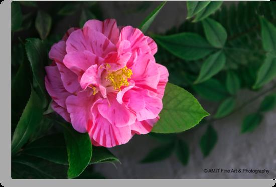 First Camellia 2013 by heatherfriedman