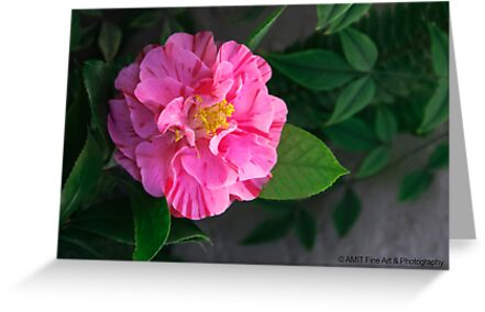 First Camellia 2013 by heatherfriedman