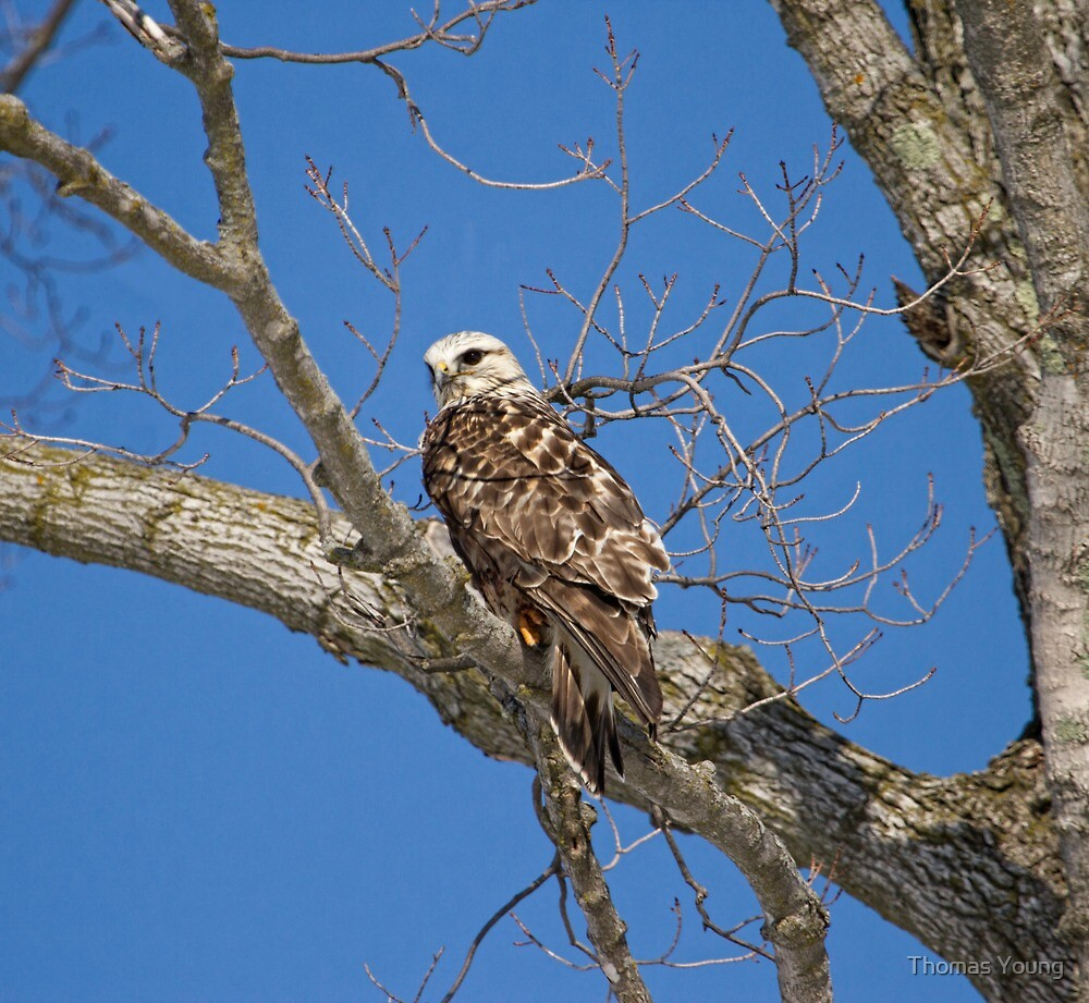 Rough-legged Hawk 3 by Thomas Young