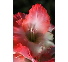 Red And White Gladiolus Flower Photographic Print