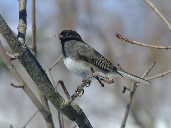 Bright Eyed Junco by Tracy Faught