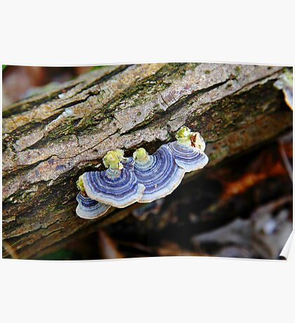 Turkey Tail  Poster
