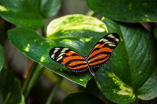 Tiger Orange Butterfly by gharris