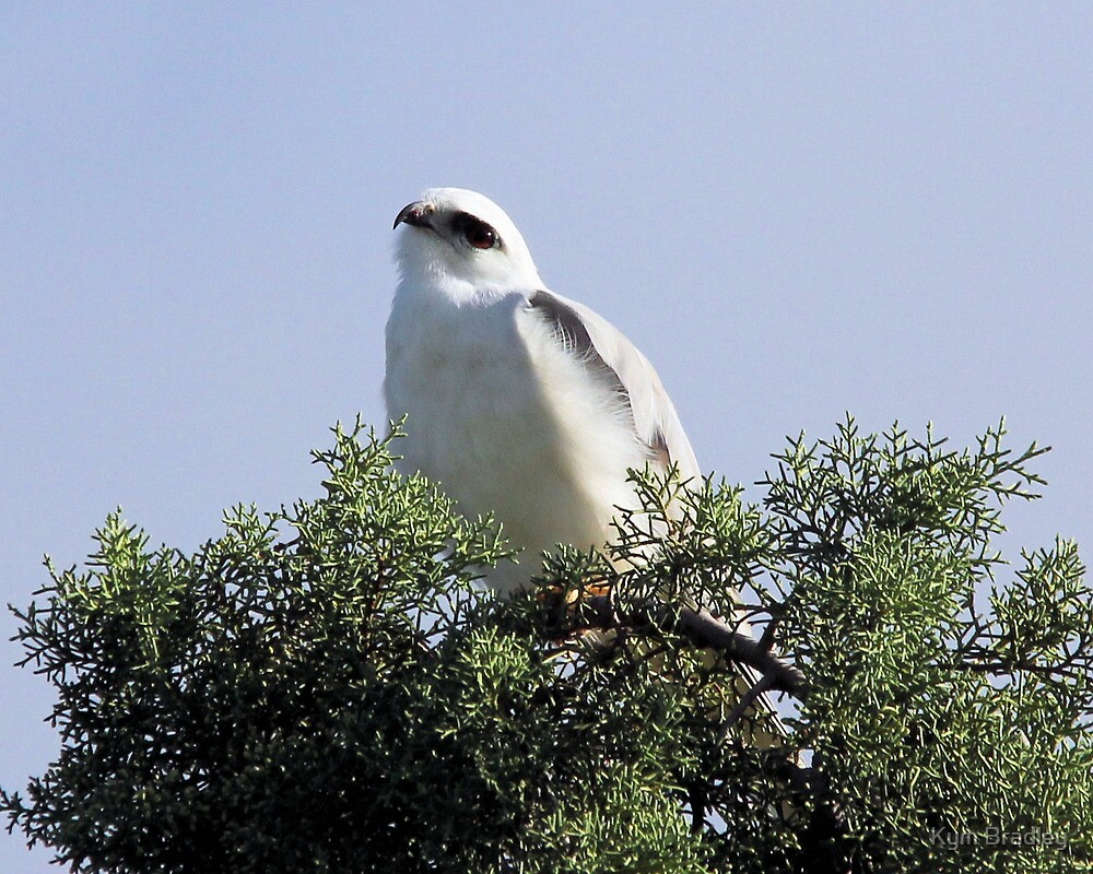Keeping an Eye on Me  Black shouldered Kite by Kym Bradley