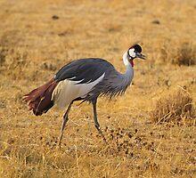 Grey Crowned Crane (Balearica regulorum) by Shoba Ganesh