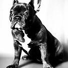 french bulldog by Falko Follert