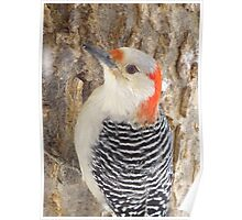Mrs. Red-Belly Woodpecker Poster