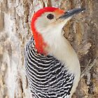Mr. Red-belly Woodpecker by lorilee