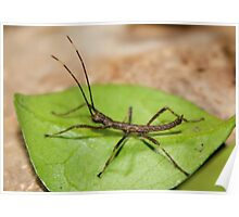 Venezuelan Stick Insect Poster