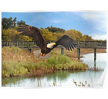 Eagle Soaring Through The Wetlands Poster