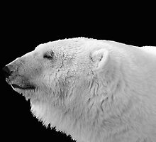 Polar Bear by clime