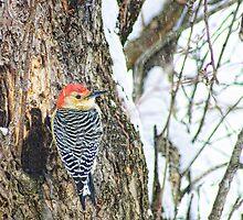 Red bellied woodpecker by Penny Rinker